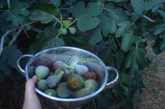 Fresh-picked figs from our backyard